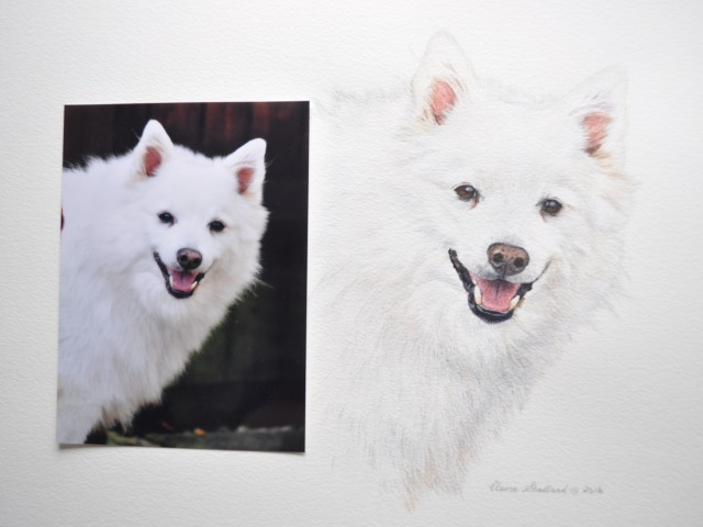 Alfie Photograph and Portrait of Japenese Spitz watercolour pet portrait Glos