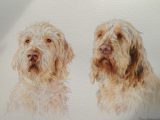Anja and Luka Wire Haired  Hungarian Vizslas Watercolour Pet Portraits West Sussex