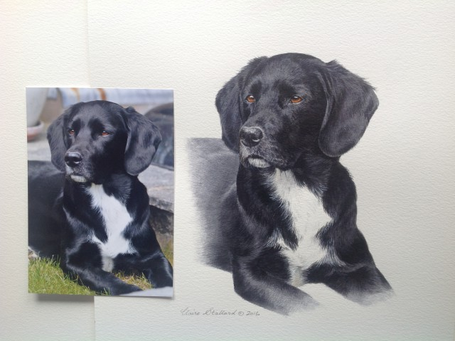 Wilbur a lab/spaniel X pet portrait from Gloucestershire