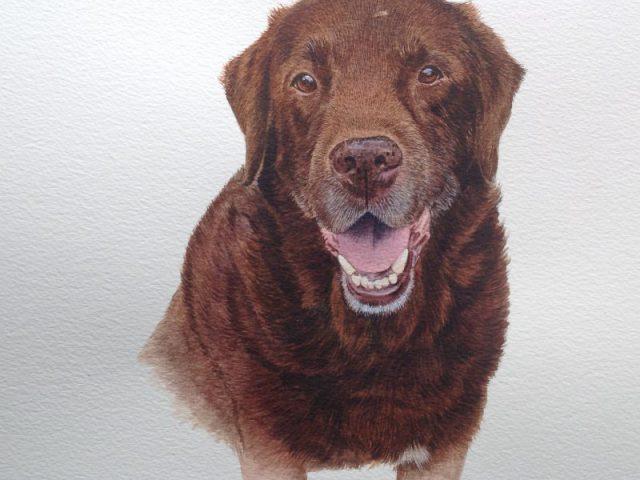 Joey Chocolate Labrador Surrey