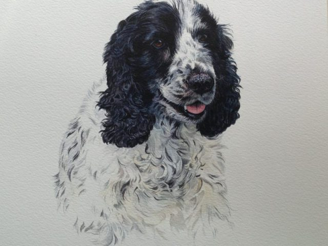 Cocker Spaniel, Jasper, Kent