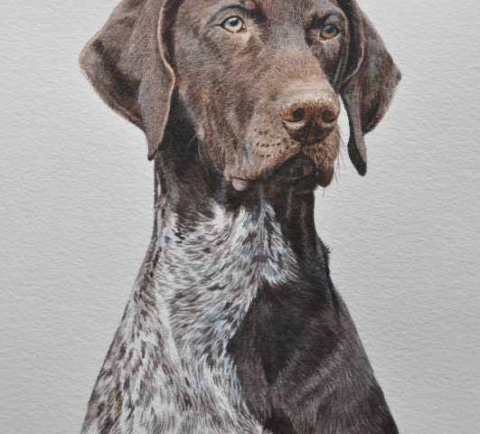 Cooper a water colour pet portrait of a Pointer from Glos