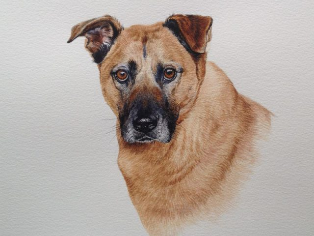 Peritas, A New Zealand cross breed water colour pet portrait