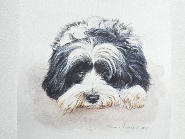 Kip,Tibetan Terrier, Essex
